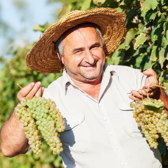 Viinirypäleiden sadonkorjuuta Georgiassa.